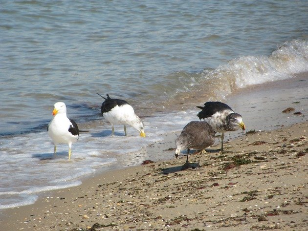 Pacific Gulls (4)