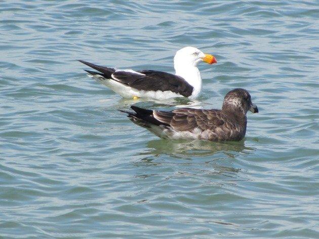 Pacific Gulls (5)