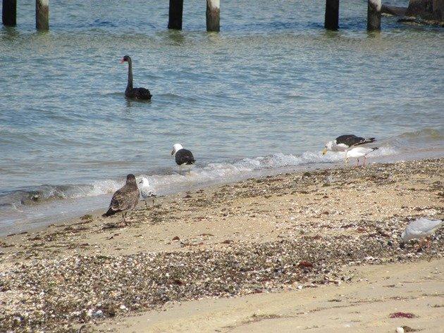 Pacific Gulls, Silver Gulls & Black Swan