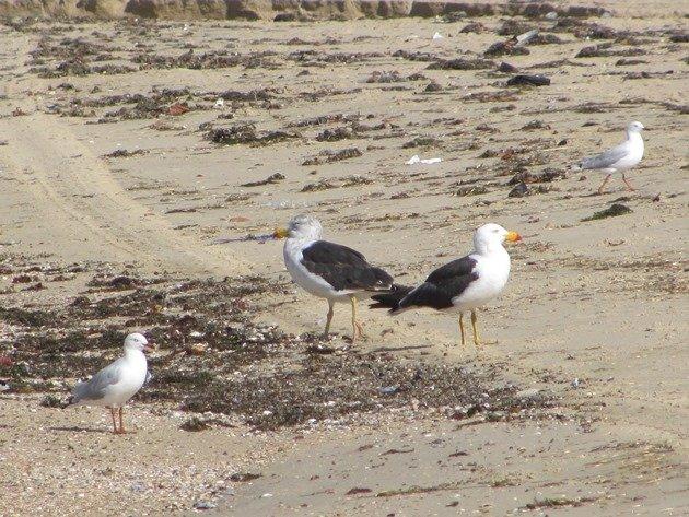 Pacific Gulls & Silver Gulls