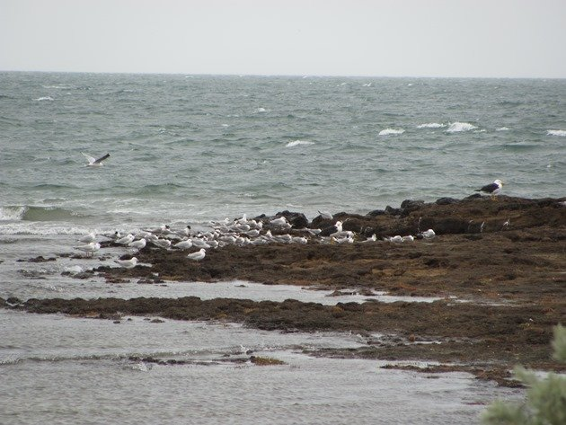 Pacific Gulls,Silver Gulls & Crested Terns