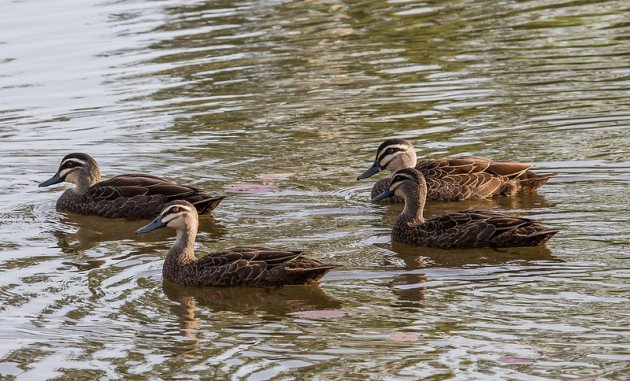 Pacific_Black_Ducks_-_Durack_Lakes_-_Palmerston_-_Northern_Territory_-_Australia