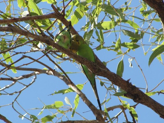 Pair of Budgerigars (2)