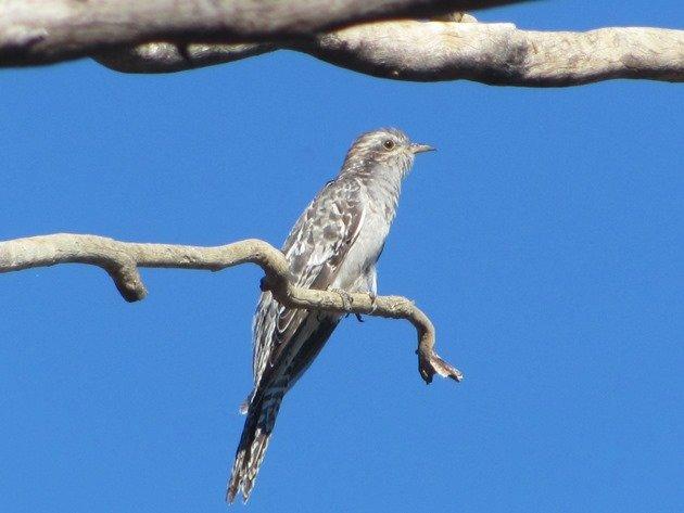 Pallid Cuckoo (2)