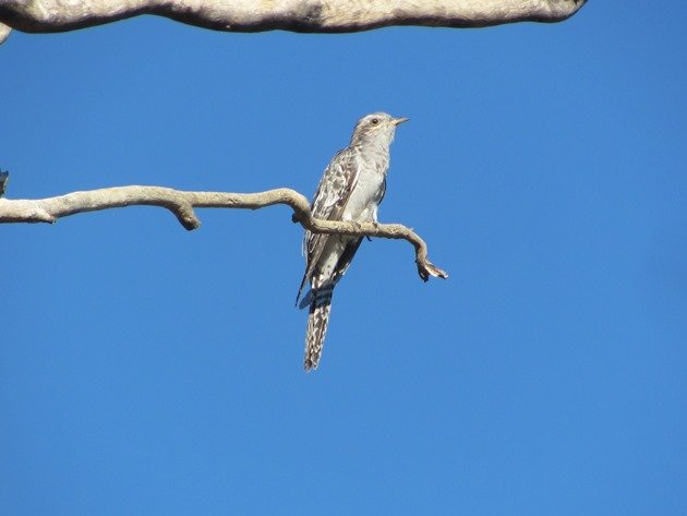 Pallid Cuckoo (3)
