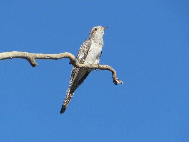 Pallid Cuckoo (4)