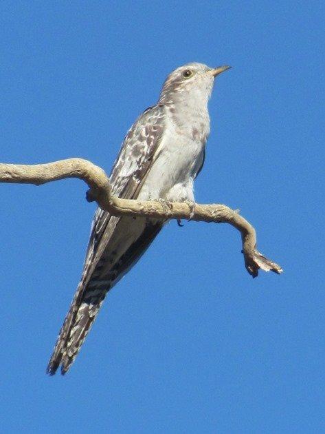 Pallid Cuckoo (5)