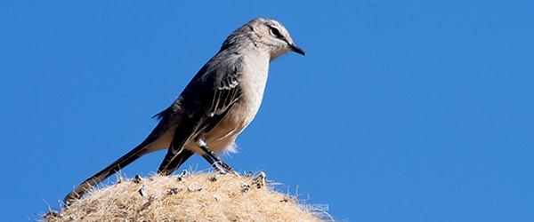 Patagonian-Mockingbird_007886