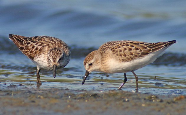 Peep Show Semipalmated Sandpipers