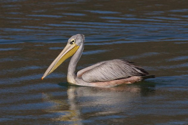 Pink-backed Pelican by Markus Lilje