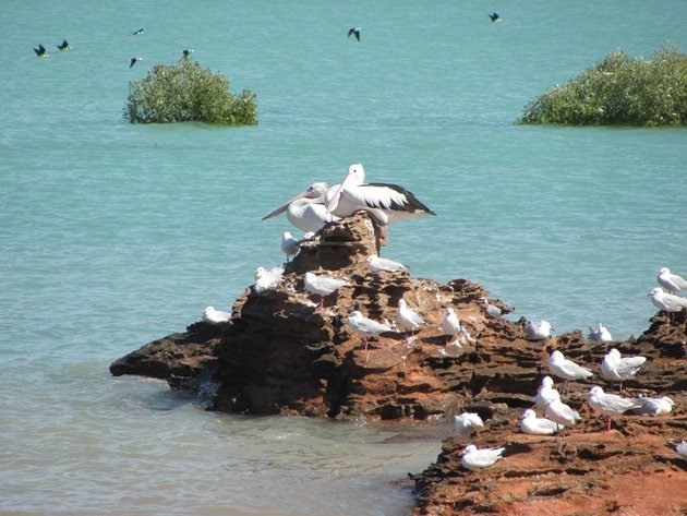 Pelicans, Black-winged Stilt & Silver Gulls