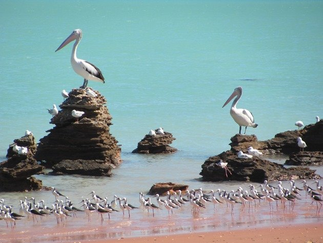Pelicans & Black-winged Stilt