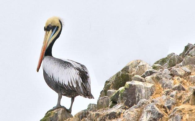 Peruvian-Pelican_-CC-FLickr-Olaf-ready