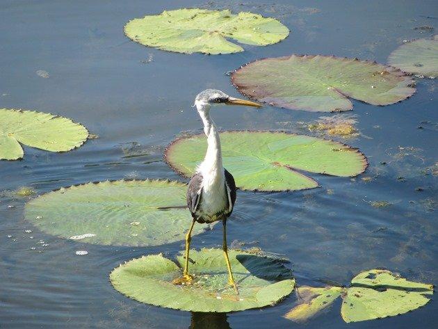 Pied Heron (2)
