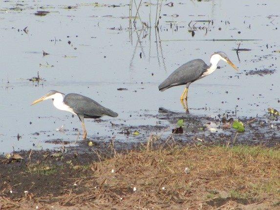 Pied Herons (2)
