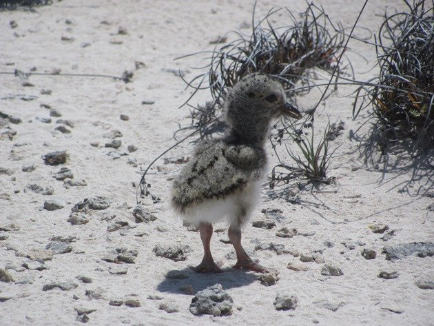 Pied Oystercatcher chick-1 day old (2)