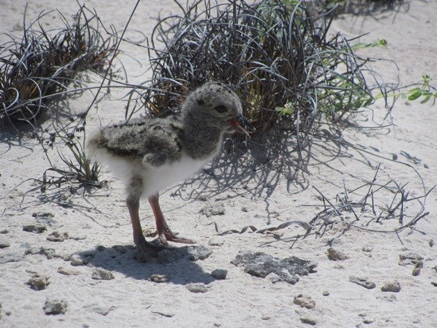 Pied Oystercatcher chick-1 day old (3)