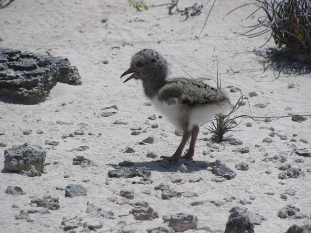 Pied Oystercatcher chick-1 day old (4)