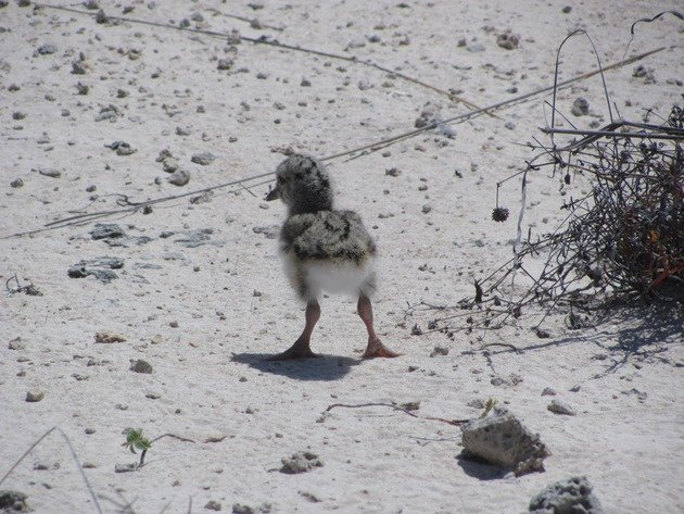 Pied Oystercatcher chick-1 day old (5)