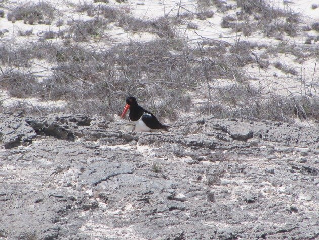Pied Oystercatcher & chick (3)
