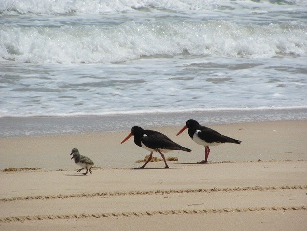 Pied Oystercatcher family (2)