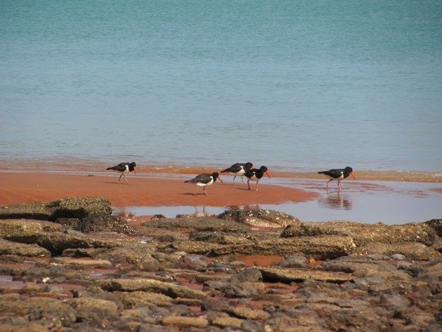 Pied Oystercatcher family (3)