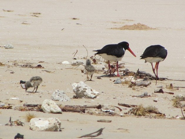 Pied Oystercatcher family (4)