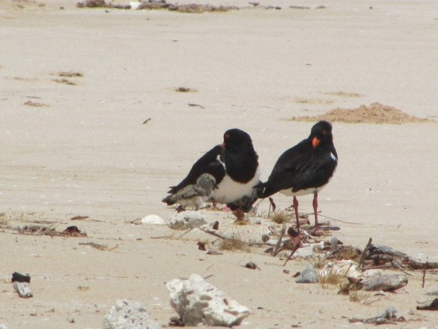 Pied Oystercatcher family (5)