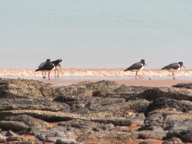 Pied Oystercatcher family (7)