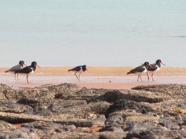 Pied Oystercatcher family (8)