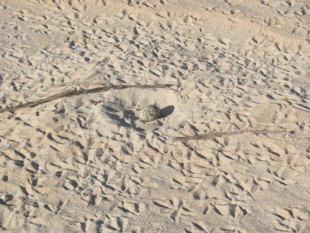 Pied Oystercatcher nest (2)