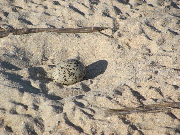 Pied Oystercatcher nest (3)