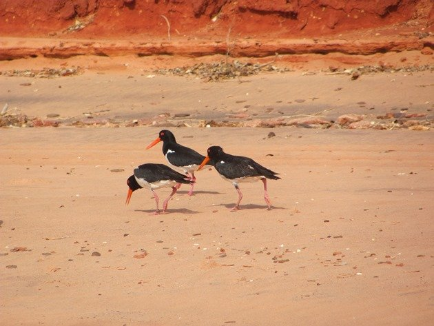 Pied Oystercatchers piping (2)