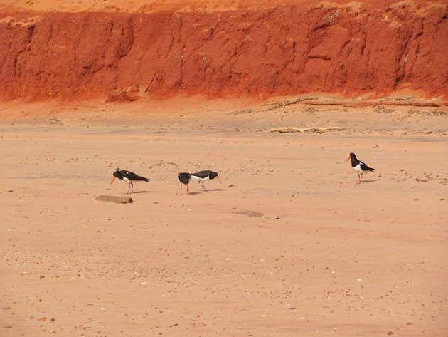 Pied Oystercatchers piping