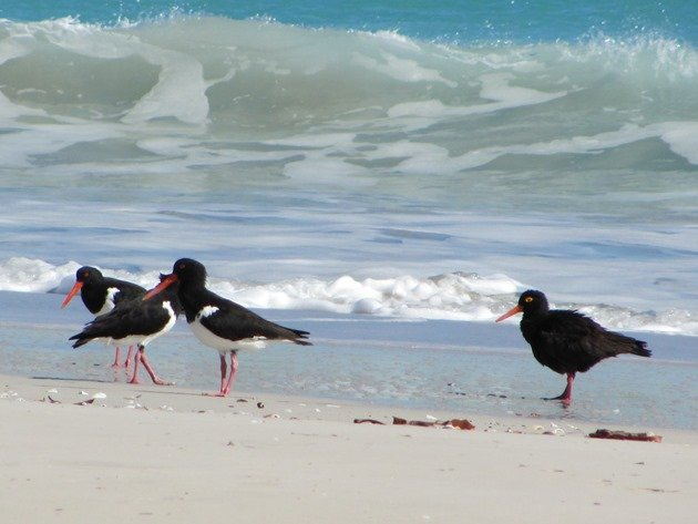 Pied & Sooty Oystercatchers (2)