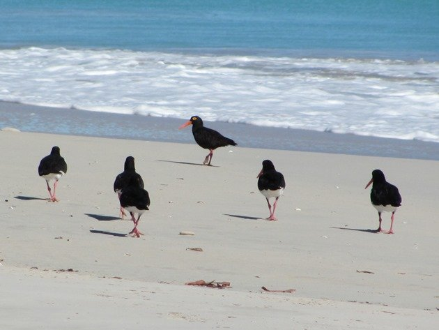 Pied & Sooty Oystercatchers (3)