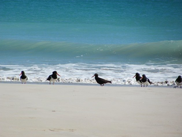 Pied & Sooty Oystercatchers