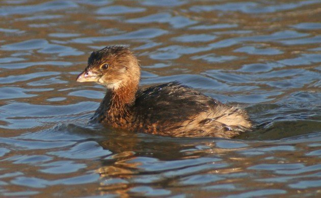 Pied-billed Grebe - the unwitting victim