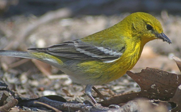 Pine Warbler in New York City