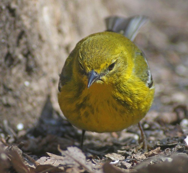 Pine Warbler on the prowl