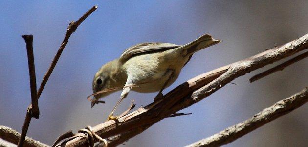 Pine Warbler peeling bark