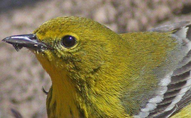 Pine Warbler portrait