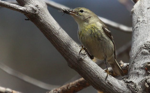 Pine Warbler with bug