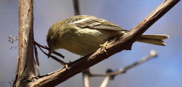 Pine Warbler practicing with nesting material