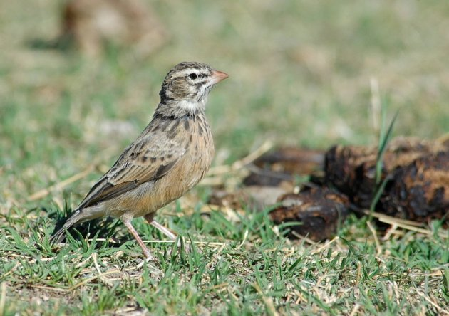 Pink-billed Lark by Andrew Stainthorpe