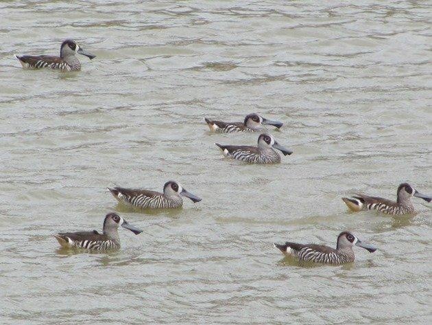 Pink-eared Ducks (2)