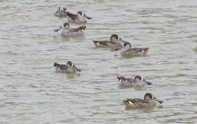 Pink-eared Ducks (3)