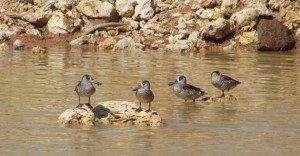 Pink-eared Ducks (5)