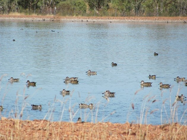Pink-eared Ducks & Grey Teal