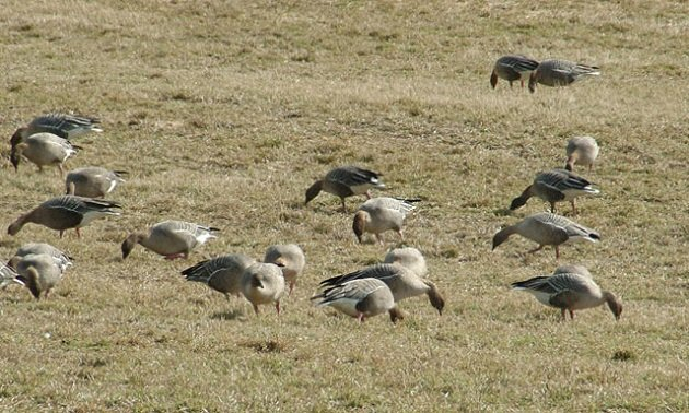 Pink-footed Geese  Wikipedia Commons